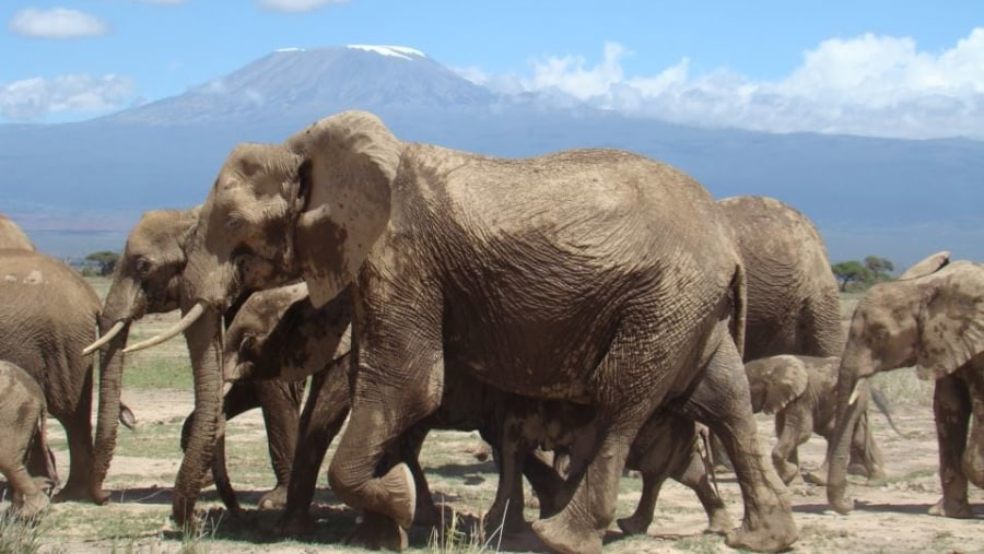 Elephants herds