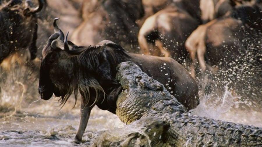 Crocodile making a kill