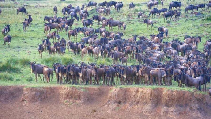 Wildebeest cross Mara river.