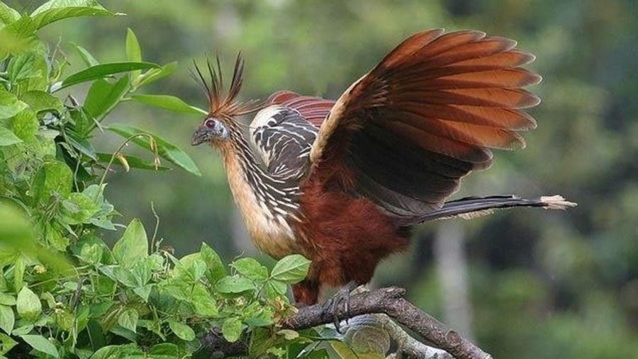 Hoatzin prehistoric bird