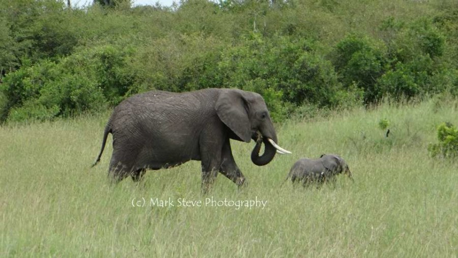 Elephant with a young one