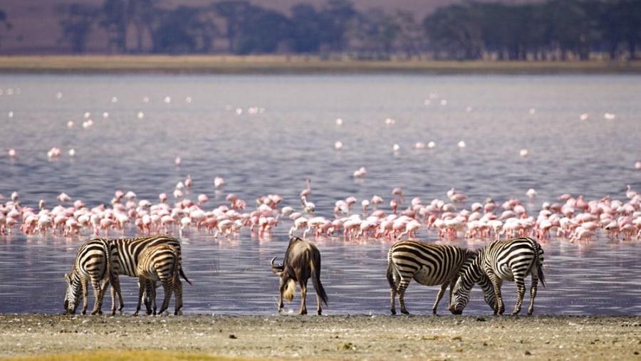 Wildlife and flamboyant of flamingos
