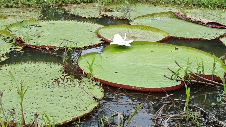 water lilie ( victoria regia )