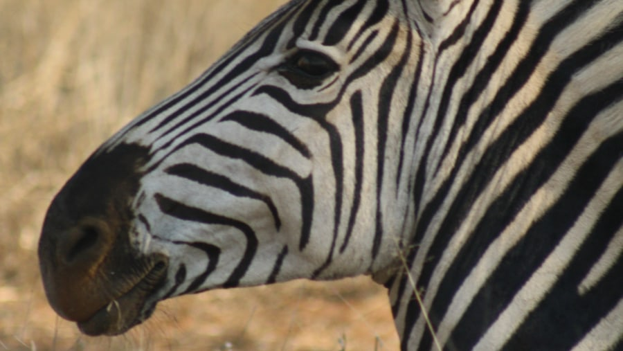 Portrait of a Plains Zebra