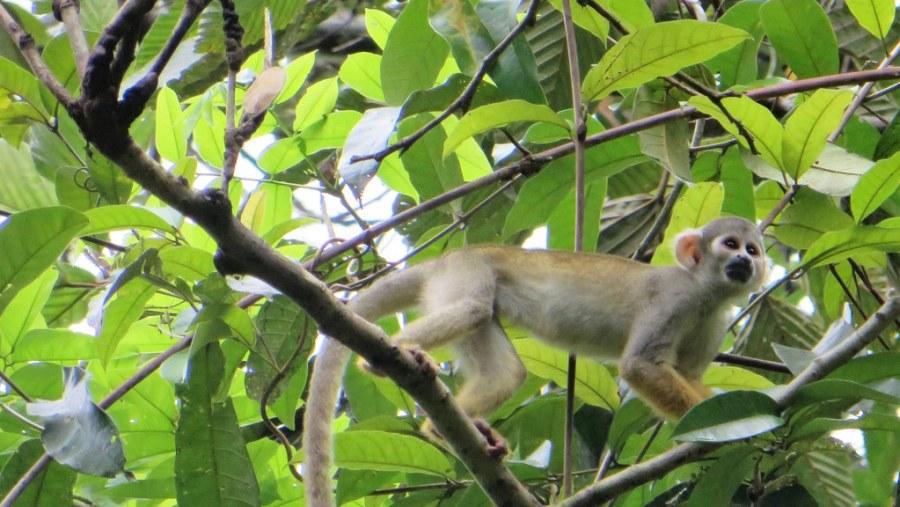 yarapa expeditions comon esquirrel monkey