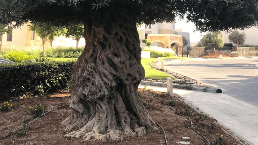 A Roman Olive Tree