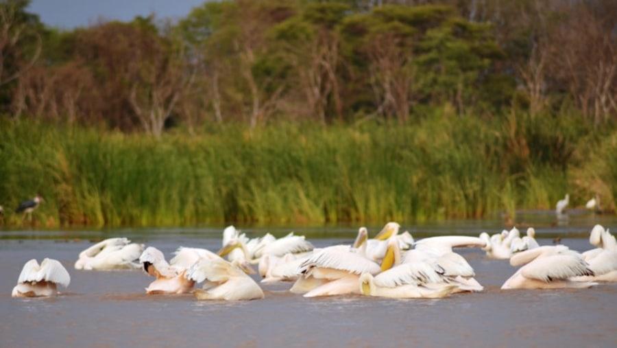 Pelicans on Lake Chamo