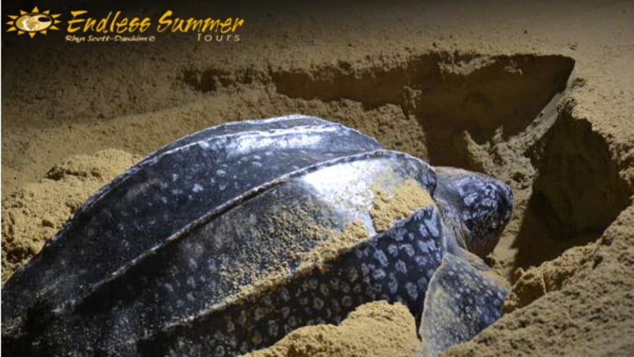Special sighting of Leatherback laying eggs on a turtle safari