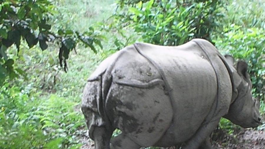 One horned rhino,Chitwan National Park