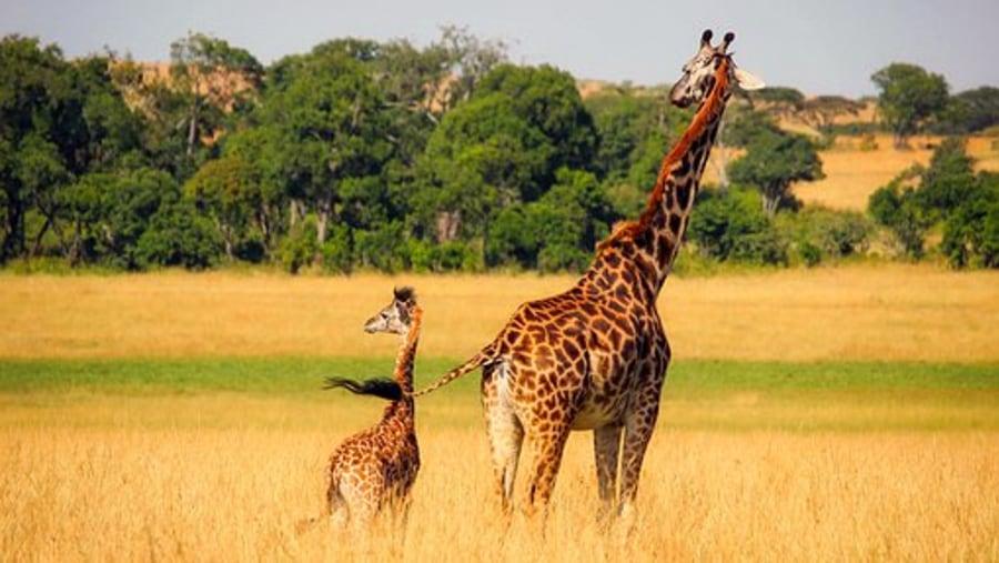 Giraffe - mother & baby