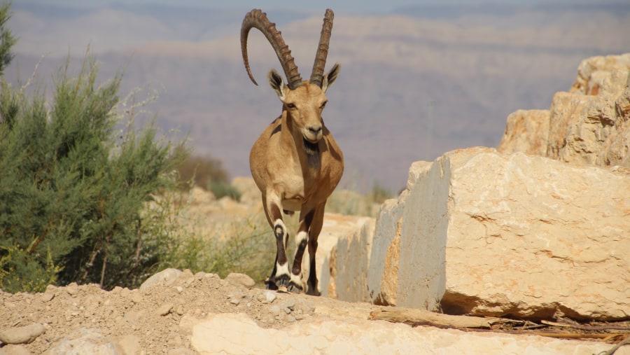 Ibax in Judea Desert