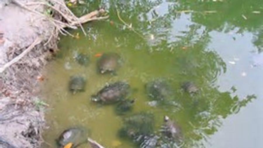 INPA- Freshwater Turtles