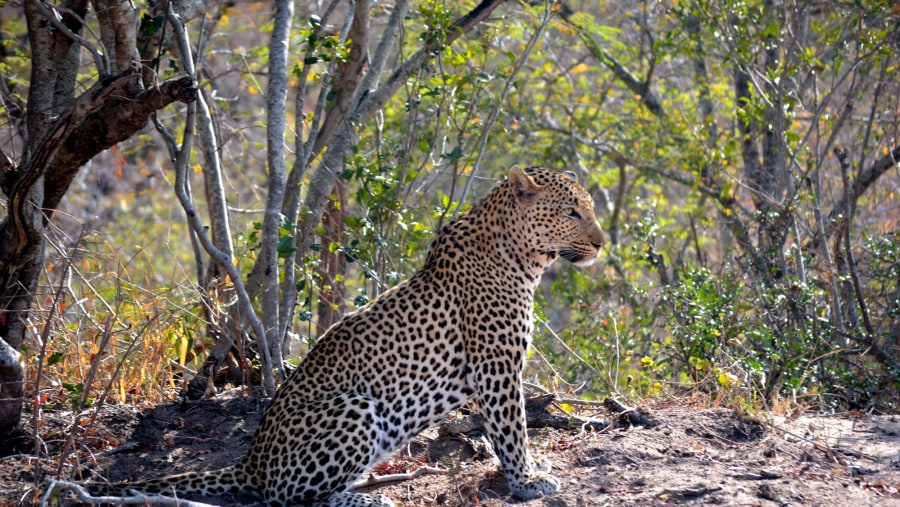 Leopard caught by guide Rhys