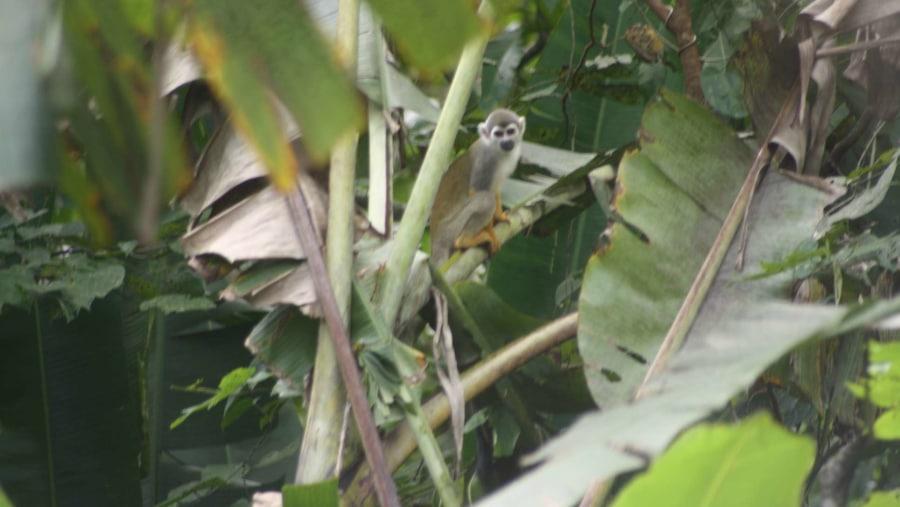 squarril monkey