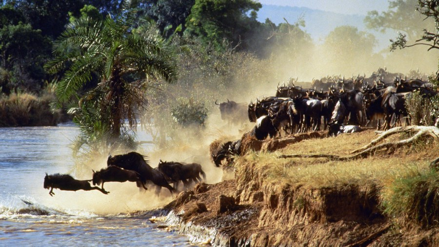 wildebees Migration