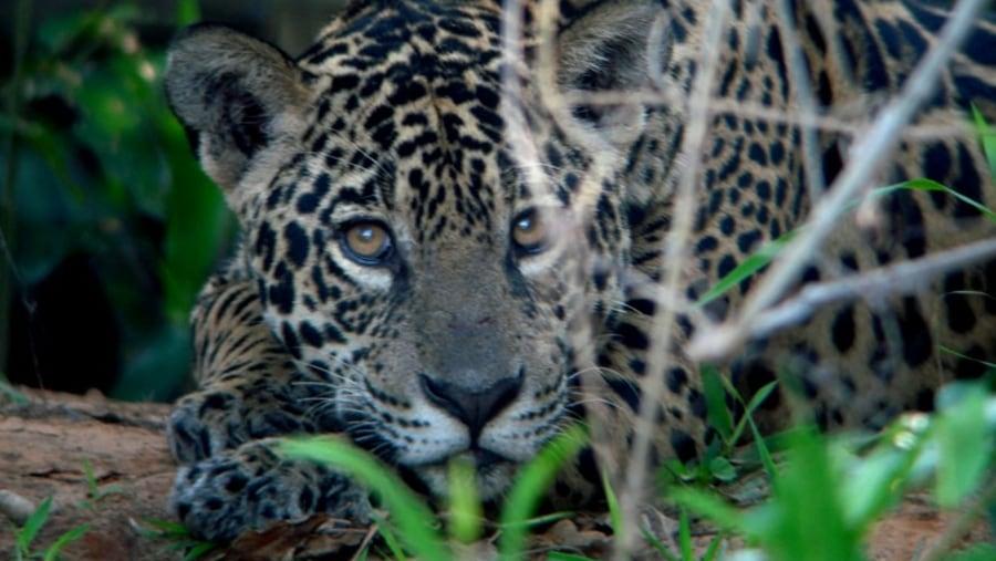 female jaguar spoted during our jaguar tour