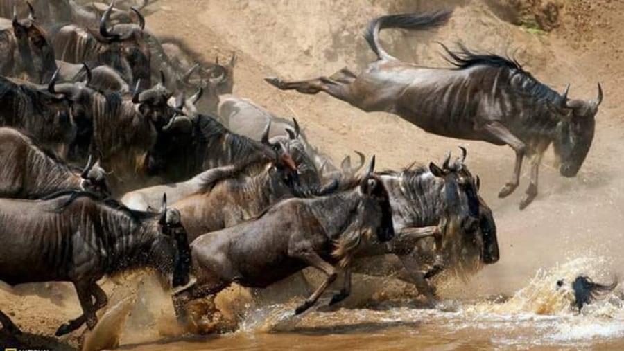 Wildebests crossing Mara River