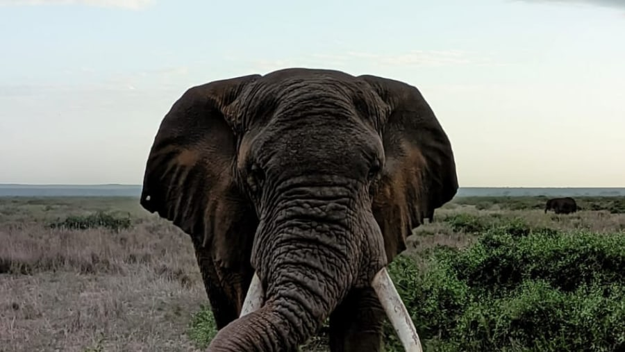 African Elepahant