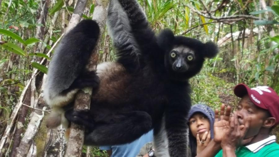 Indri- Indri (the biggest lemur Madagascar)