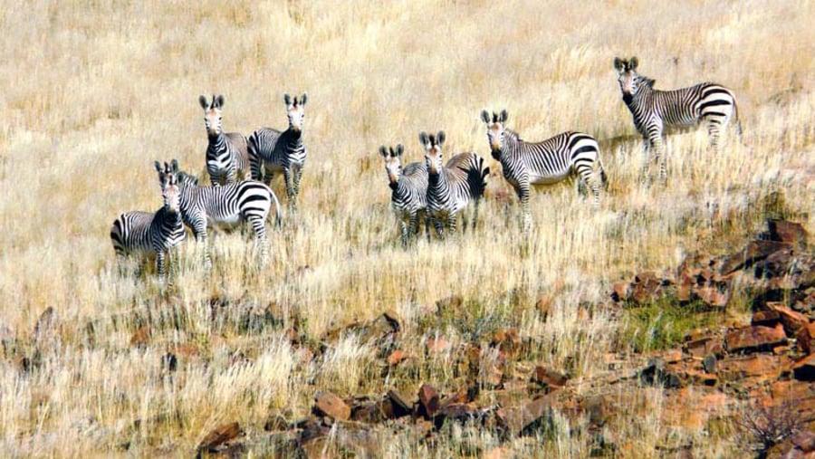 Hartman's mountain zebra