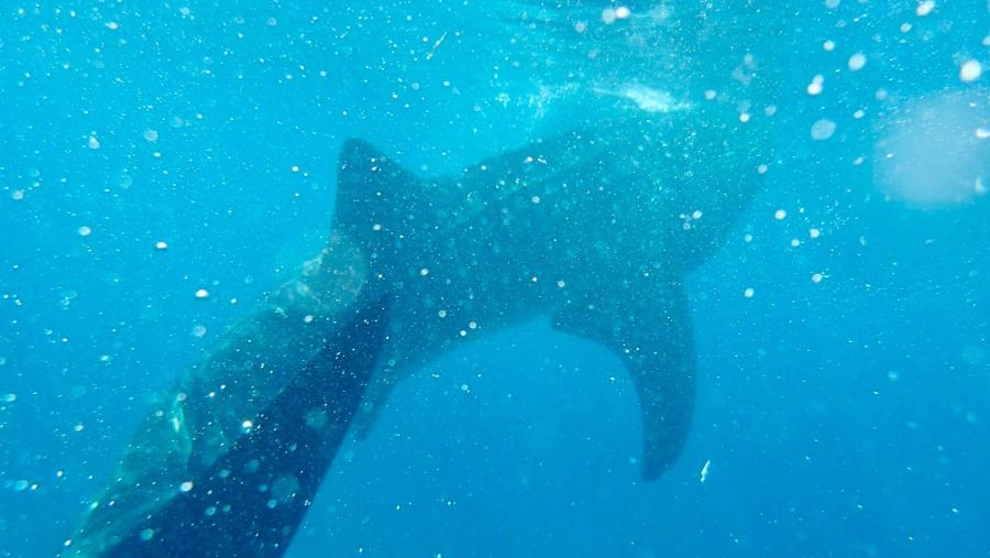 Oslob (Whale shark watching) adventure