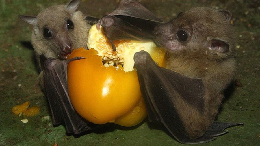 endemic bats cyprus nikropapparos