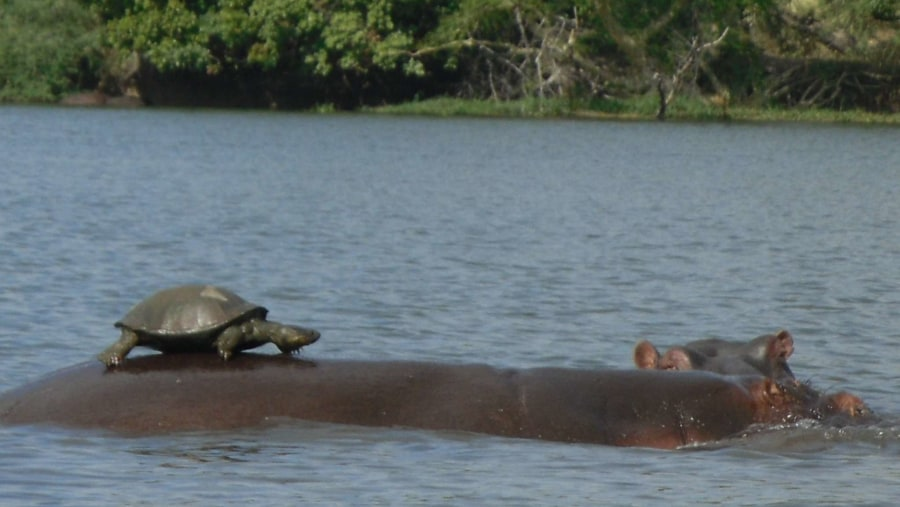 Serrated hinged Terrapin Sun bathing on a Hippo