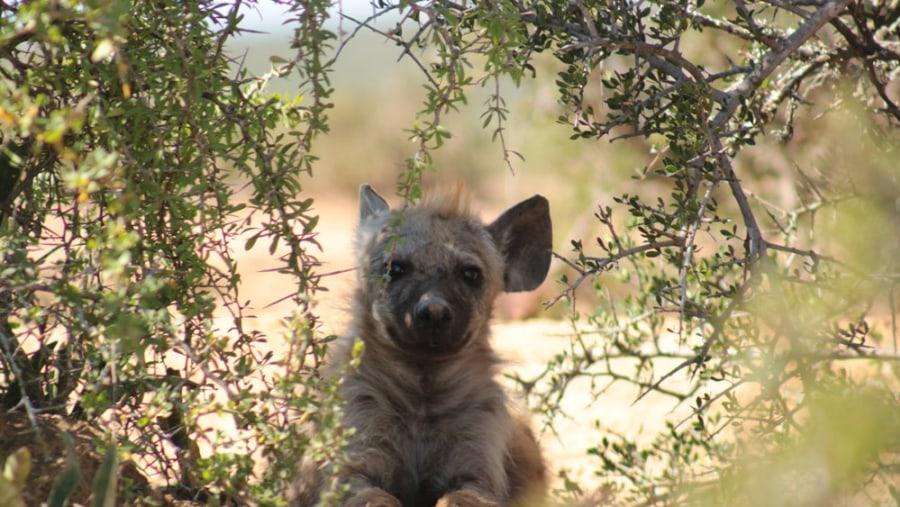 Hyena cub, Addo Park Safaris with Alan Tours