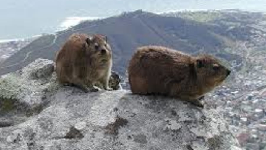 Dassies on Table Mountain