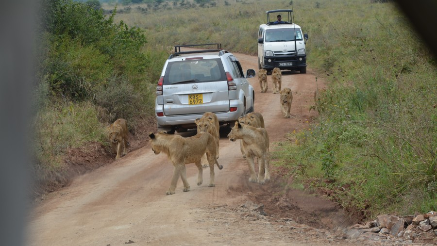 FEMALE LIONS
