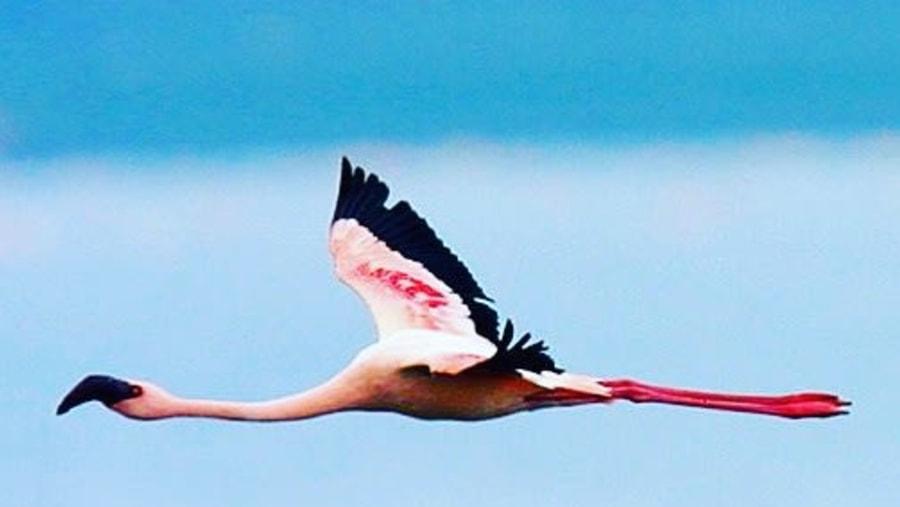 Beautiful flamingo flying over Lake Nakuru