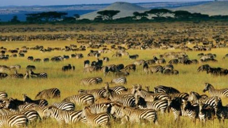 A heard of Zebras and Wildebeest