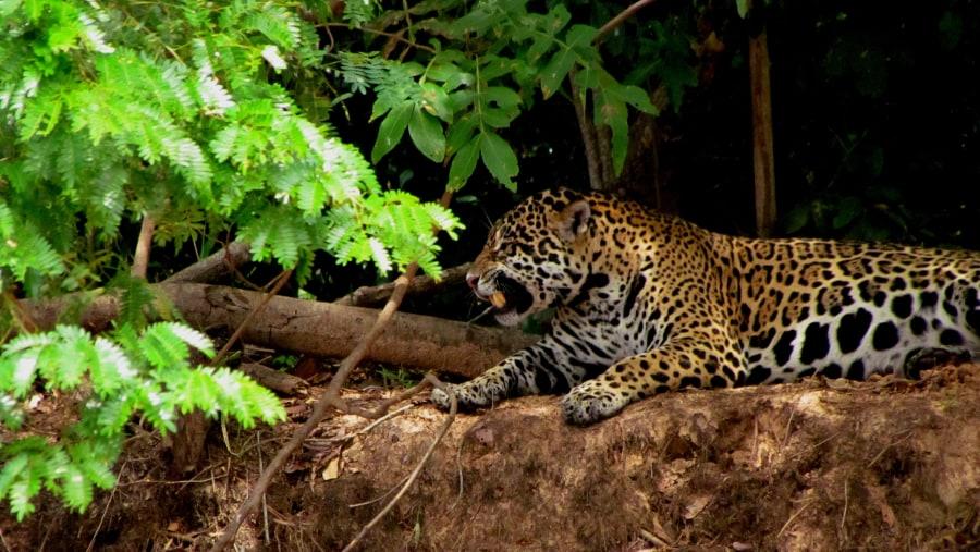 Large female Jaguar.