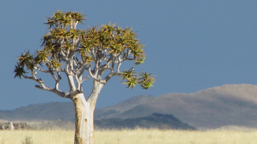 Quiver Tree - Southern Namibia