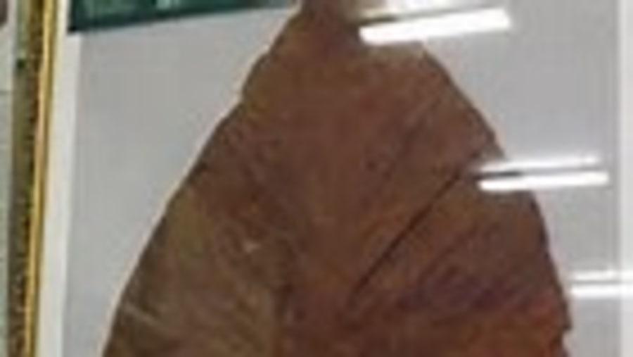 World Largest Leaf 1.8 m