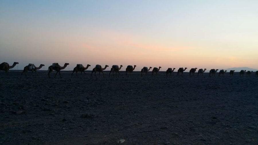 Afar Camel Caravans