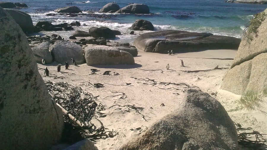 Penguin colony at Boulders beach