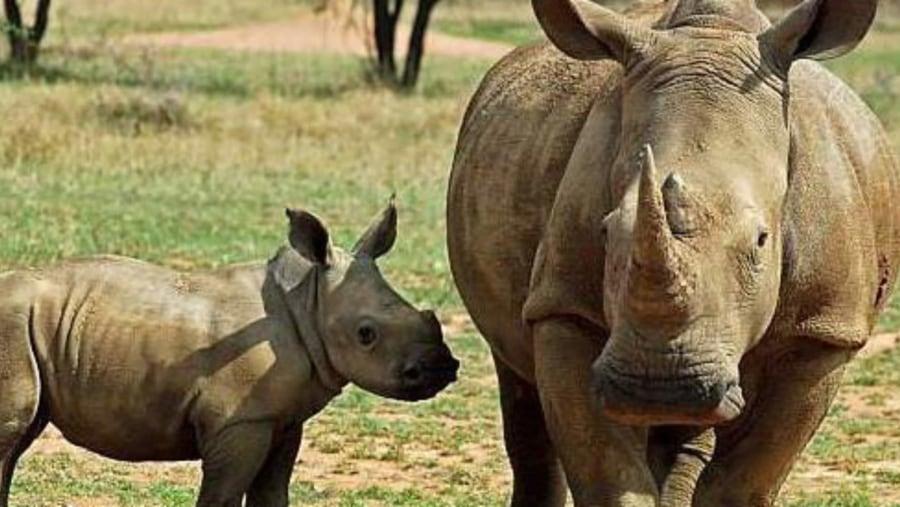 White Rhino and a calf