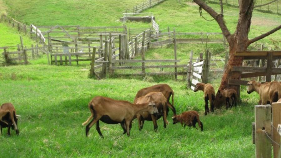 Grazing Barbados Blackbelly Sheep
