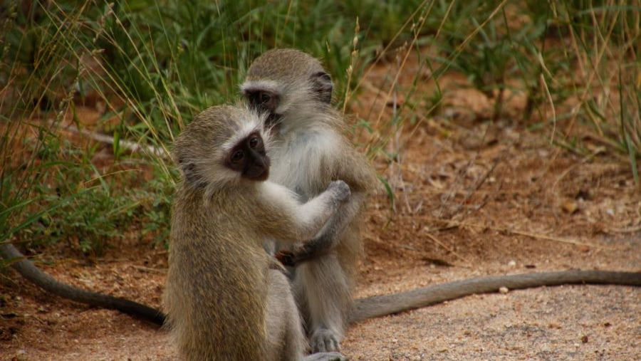 Vervet Monkeys loving