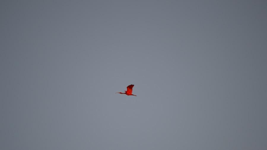 Flamingo flying