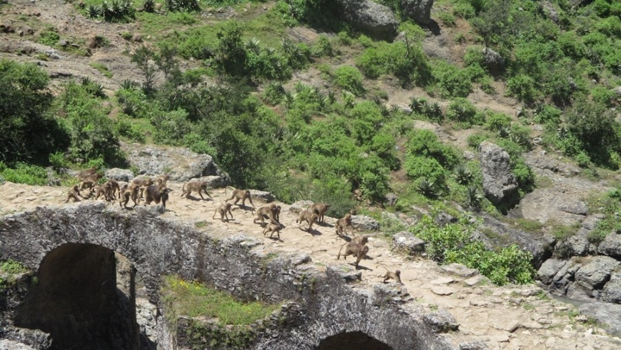 Gelada Baboons crossing the Portuguese Bridge