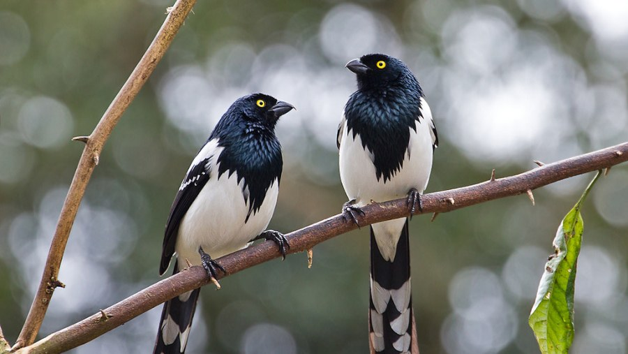 Mag pie tanager