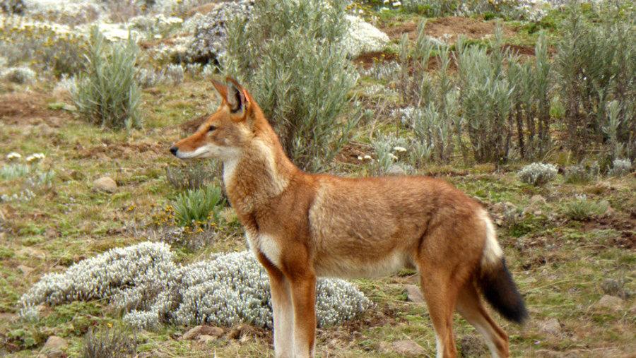 ETHIOPIAN WOLF (CANID SIMENSIS)