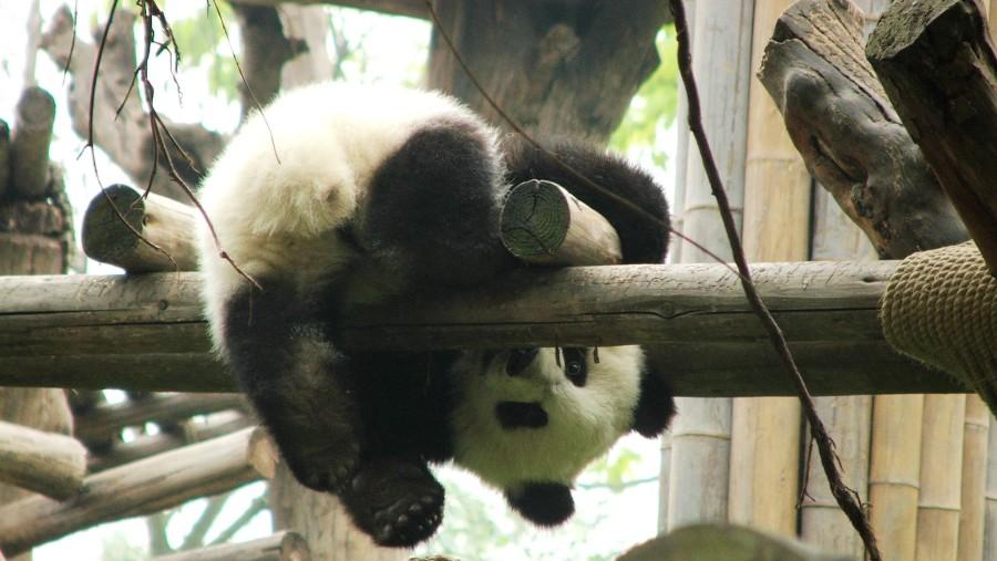 cute pandaaaaa