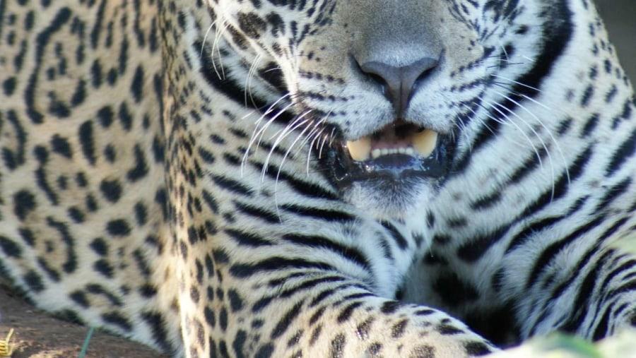Jaguar of Pantanal