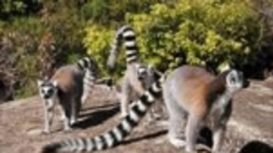 Ring tailed lemur in Anja Park