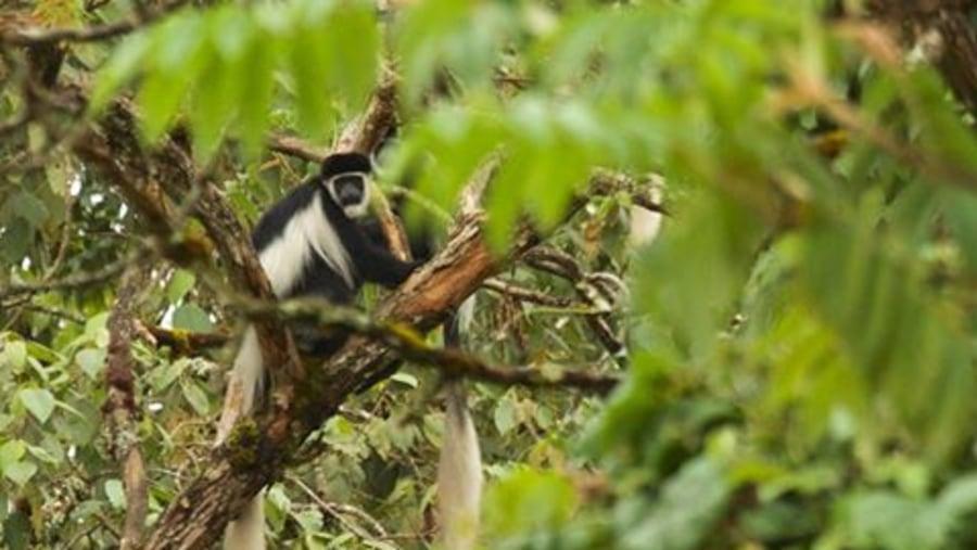 White and Black Colobus Monkey