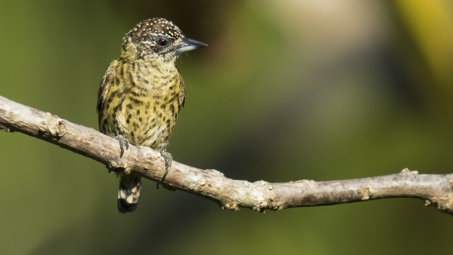 Bar breasted piculet