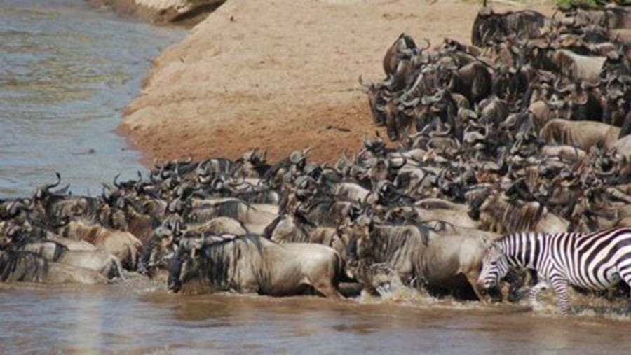 Wildebeest and zebras migration